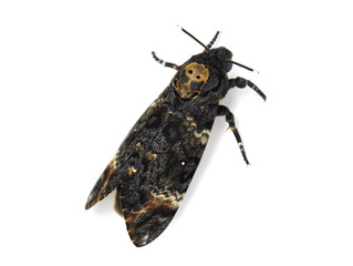 Death's-head Hawk moth, Acherontia atropos on white background