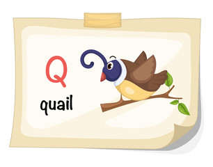 animal alphabet letter Q for quail illustration vector