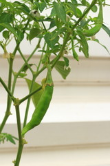the Capsicum frutescens L. fruit with the leaf