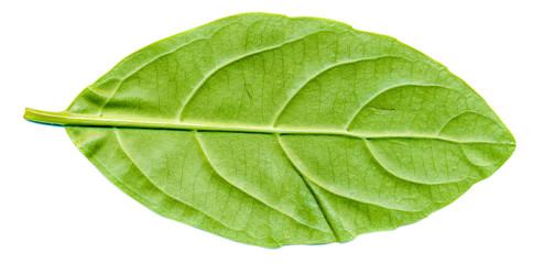 laurocerasus leaf back