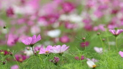 Purple and Yellow cosmos flowers swaying in the breeze