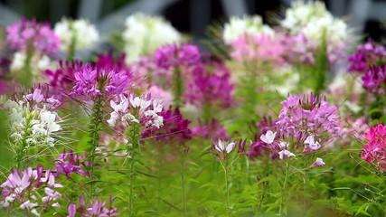 Purple Pink flower field blowing in the breeze