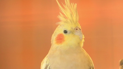 Parrot, close up