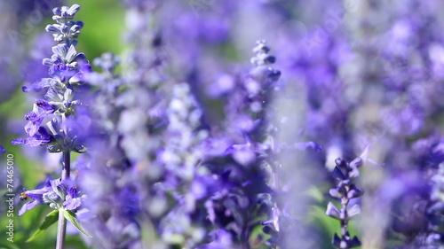 Purple Lavender flower field blowing in the breeze. © kokotewan