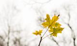 Ahornblatt einsam vor kahlen Bäumen im Herbst