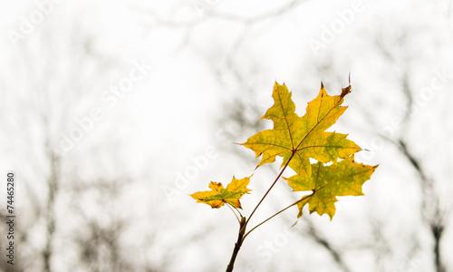Ahornblatt einsam vor kahlen Bäumen im Herbst - 74465280