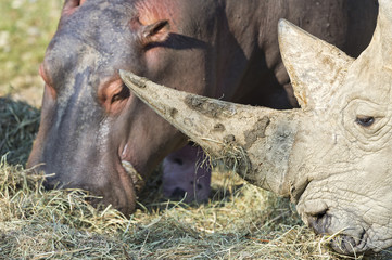 white rhino and hippo while eating together