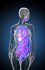 3d render medical illustration of the human digestive system and