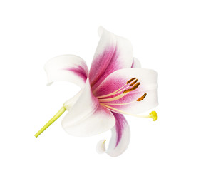 white lily with pink center