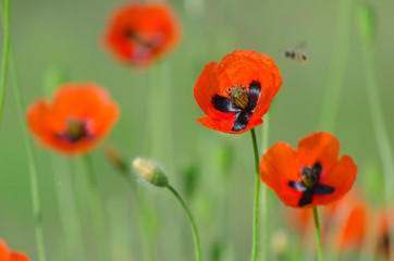 Spring blossom of wild poppies with seeds