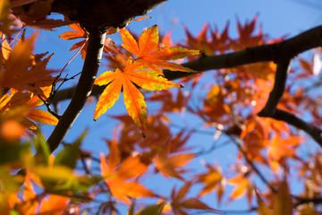 青空と紅葉の楓