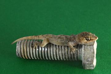 Gecko Lizard and Screw