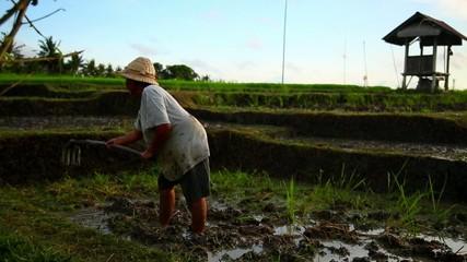 Rice Harvesting, Bali