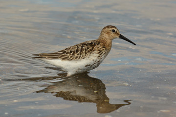 piovanello pancianera (Calidris alpina)