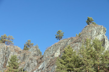 The pines growing on rocks