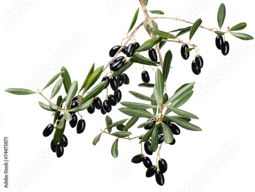 Tuinposter Olijfboom Olive twig with black fruits over white