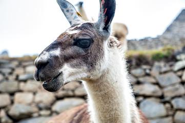 Lama, Perù