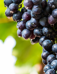 Grapes fruit background