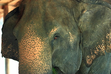 elephant uniqueness of Thailand