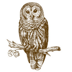 Engraving antique illustration of owl