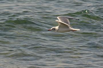 gabbiano comune (Larus ridibundus) in volo