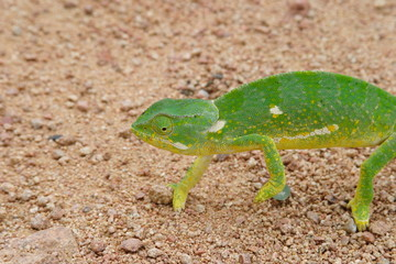 camaleonte rettile savana del sudafrica