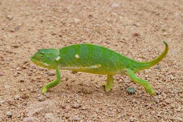 camaleonte savana del sudafrica