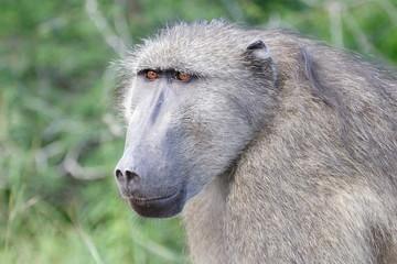 babbuino grossa scimmia animale selvaggio sudafrica