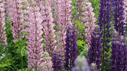 Blossoming pink and violet lupines
