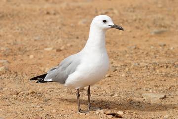 gabbiano uccello marino del sudafrica