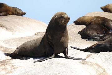 foca del sudafrica