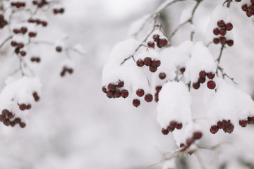 red winterberry and snow