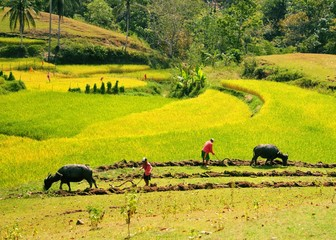 Famers working on the rice field