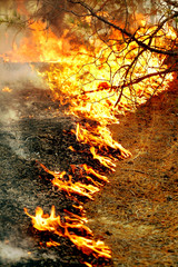 Burning grass and pine needles in forest fires
