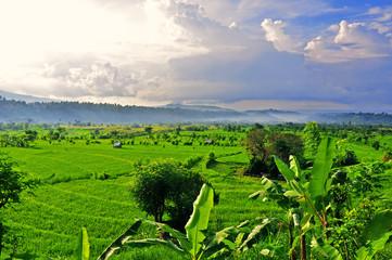 Rice fields on terraced of Bali