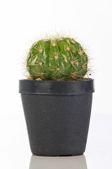 Cactus isolated on white background