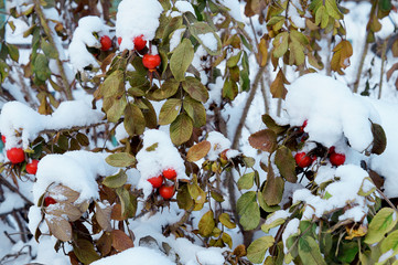 Rosehip in the snow, winter