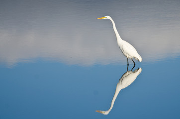 Great Egret Against a Pale Blue Background