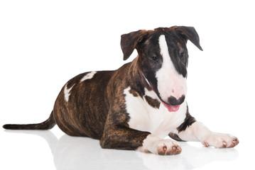 english bull terrier puppy lying down