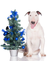happy english bull terrier puppy with a christmas tree