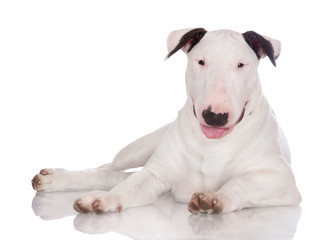 white english bull terrier puppy lying down