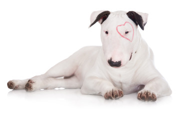 english bull terrier puppy with a drawn heart