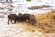 Wildschwein - Frischling