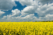 Yellow rapeseed field and blue sky, a beautiful spring landscape