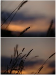 Beautiful silhouette of the grass at orange sunset