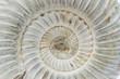 Perisphinctes, ammonite fossile, Madagascar - 74496638