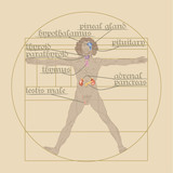 endocrine system on the Vitruvian Man