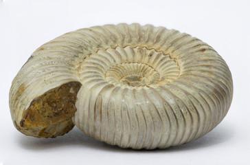 Perisphinctes, ammonite fossile, Madagascar