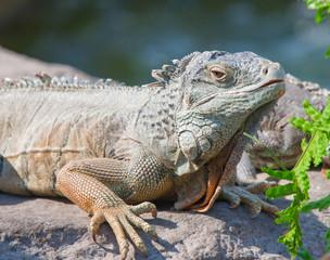 Iguania