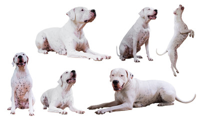 Collage of Dogo Argentino